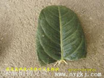 荣威植物克隆,一叶成林——农业致富好轻松
